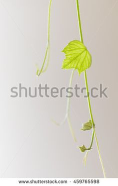 Green leaf vine Image ID:459765598 Copyright: Alina Craita