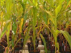 Une découverte exceptionnelle soulignée par Québec Science   07 janvier 2016   Utiliser les mycorhizes pour une agriculture plus verte