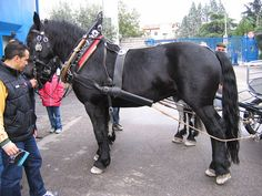 File:Noriker horse.JPG