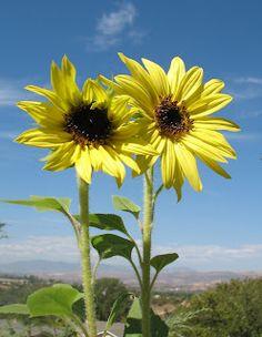 Lemon Queen Sunflowers.
