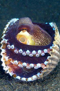 Amphioctopus marginatus - Vein Octopus