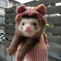 Ferret: A small lovable animal of the marmot family, who's got a slinky for a spine. Cute Creatures, Beautiful Creatures, Animals Beautiful, Cute Little Animals, Cute Funny Animals, Funny Ferrets, Pet Ferret, Ac New Leaf, Animals And Pets