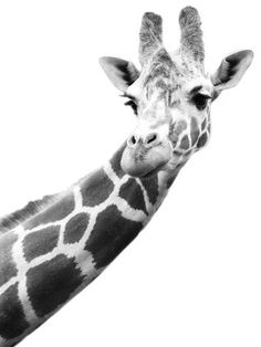 Poster Print Wall Art Print entitled Black and white portrait of a giraffe, None Framed Artwork, Wall Art Prints, Poster Prints, Wall Collage, Black And White Portraits, Black And White Photography, Giraffe Art, Giraffe Decor, Animal Posters