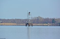The new Mud Island range marker in Andalusia. Usually, cormorants are hanging out on it, but they have been using the Delanco channel marker instead. That will change when the ospreys get back. The male likes to roost there in his spare time.