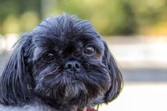 RIP October 1, 2014... Pepper is a 5 year old shih tzu who was surrendered to animal control for biting
