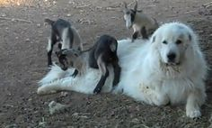 This gorgeous Great Pyrenees dog patiently allows the baby goats to walk all over him. Awww.....video on YouTube.