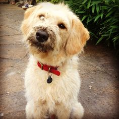 #mini labradoodle #mud