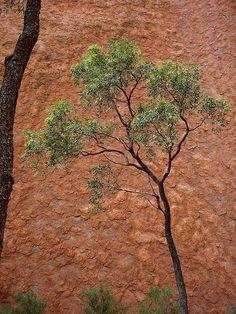 Bloodwood at Uluru,  Corymbia opaca                   1        Newer Older  Corymbia (Eucalyptus) opaca