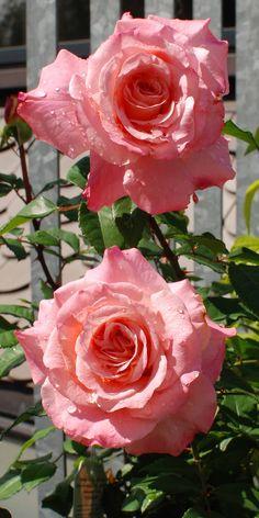 Rose 'Augusta Luise'