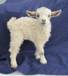 Mountain Meadow Farm Pygora Goats & Pygora Fiber (Spinners' Delight)