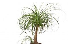 Ponytail palms are truly interesting houseplants with their spiky poof of slender leaves and elephant skin trunk. They are not true palms, however, so can you trim ponytail palms? Read here for the answer on how to prune a ponytail palm. Ponytail Plant, Ponytail Palm Care, Indoor Palm Trees, Indoor Palms, Succulents Garden, Garden Plants, Planting Flowers, Palm Plants, Pony Tail Palm