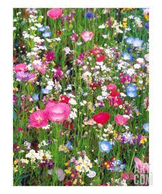 Flower Field Giclee Print by Sandy Dooley at Art.com