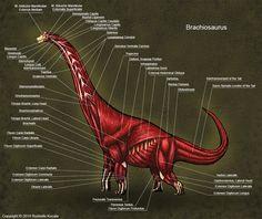 Brachiosaurus Muscle Study by TheDragonofDoom.deviantart.com on @DeviantArt