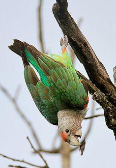 Grey-headed Parrot, S Africa