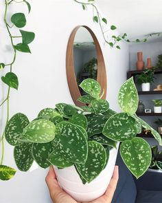 Easy To Grow Houseplants Clean the Air We cherish the pretty bits on this Philodendron Scindapsus. the most effective method to grow a philodendron: Potted Plants, Garden Plants, Indoor Plants, Foliage Plants, Pothos Plant, Hanging Plants, Tropical Plants, Tropical Flowers, Cactus Flower