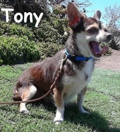 Meet Tony, a Petfinder adoptable Chihuahua Dog   San Diego, CA   Tony is 3 years old and weighs 8 lbs. He is good with other dogs, good with children and cats are...