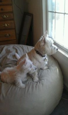 West Highland White Terriers - these two look just like my Paddy and Lady from…