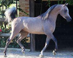 AJMAL MAGHREB (ANSATA HEJAZI x AJMAL MAGHREBEIA) 2007 Grey StallionSTRAIN OF DAHMAN SHAHWAN (LINE OF EL DAHMA)