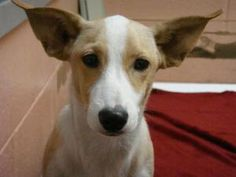 Skippy is an adoptable Terrier Dog in Corpus Christi, TX. Skippy is about 5 mos old as of 11/8/2012 and weighs approx. 15.1 lbs. He was found at Oso Park....