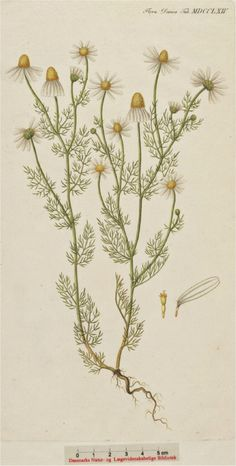 Echte kamille - Matricaria chamomilla
