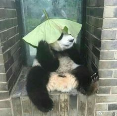 Ahhhh playing is fun Niedlicher Panda, Panda Art, Cute Panda, Cute Funny Animals, Cute Baby Animals, Animals And Pets, Cute Dogs, Baby Panda Bears, Baby Pandas