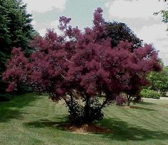 Botanical name: Cotinus coggygria f. purpureus 'Royal Purple'  Common name: Smoke bush  Zones: 5 to 8  Height: 12 to 15 feet  Light: Sun  TREES AND SHRUBS