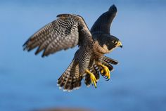 Drones Are Teaching Falcons How to Hunt | One of the newest training techniques used by falconers could eventually help conservation efforts to save the birds' prey