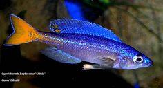 Cyprichromis Leptosoma - Utinta Fluorescent