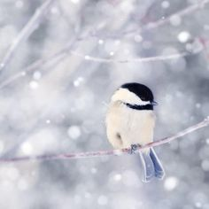 Fine art bird photography print of a cute little chickadee trying to keep his toes earm in the snow by Allison Trentelman.