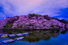 Sakura at Night by Shumon Saito on 500px