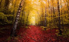 HD wallpaper: green trees, landscape photography of forest, nature, fall, red Yellow Tree, Red Tree, Yellow Leaves, Green Trees, Forest Path, Tree Forest, Pink Flowering Trees, Landscape Photography, Nature Photography