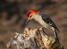 The Male Red-Bellied Woodpecker by Judylynn Malloch, via 500px