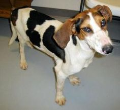 Maisie is an adoptable Treeing Walker Coonhound Dog in Hartford, KY. Maisie was brought in as a stray by Animal Control. She is a friendly, good-natured young girl. If you are looking for a great fa...