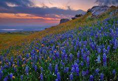 Bluebonnets na região montanhosa do Texas
