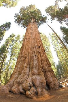 Sequoia National Park is known for its giant sequoia trees, including the General Sherman Tree, one of the largest in the world. It stands at 275 feet tall and is believed to be roughly 2,500 years old.