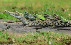 These brave frogs showed no fear when they hopped onto a caiman's back so they could do t...