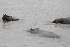 A heroic hippo saved a gnu from certain death. After being bitten by a crocodile, the large antelope is seen being dragged slowly under the water. But in a miraculous turn of events, a nearby hippo is seen making its way across the water to help the animal in its hour of need. After chasing the giant croc away, the unlikely hero is then seen guarding the creature and even nudges the gnu to the edge of the river in effort to move it out of harms way. Click pic for more photos.