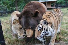 猛獣3匹、クマ・ライオン・トラの共同生活する姿が凄い! - ペット日和