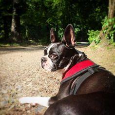 Checkpoint Dottie  #dogs #dogsofinstagram #dottiethebostie #bostonterrier #bostonterriersofinstagram #munichdogs