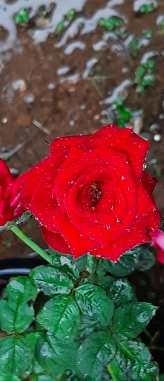 Red Roses, Flowers, Plants, Flora, Royal Icing Flowers, Floral, Plant, Florals, Flower
