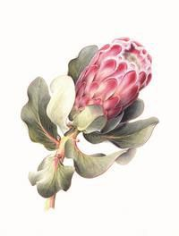 Botanical Art School of Melbourne Botanical Drawings, Botanical Illustration, Botanical Prints, Illustration Art, Protea Art, Protea Flower, Watercolor Pattern, Watercolor Flowers, Watercolour Art