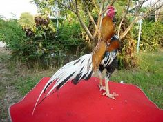 smart rooster from boy kaisiam THAILAND