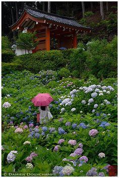 https://flic.kr/p/JvsJir   Lost in ajisai (Mimuroto-ji temple, Kyoto)   シャッターチャンス♪