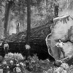 How did they move it?  #history #redwoods #treework #lumberjacks #lottahousesoutofthat #canopycrew  unknown