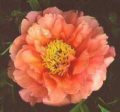 Marie Laurencin the Paeonia  (Peony?)