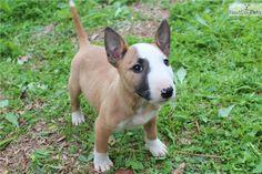 Miniature English Bull Terrier pup, 6 weeks old. Too Cute