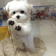 What breed of dog is a Maltese? Facts and Pictures Q: What breed of dog is a Maltese? A: The Maltese is thought to have been descended from a Spitz-type Cute Baby Dogs, Cute Baby Animals, I Love Dogs, Animals And Pets, Cute Puppies, Dogs And Puppies, Funny Animals, Doggies, Cute Small Dogs