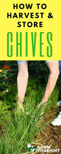 How To Harvest Chives And What To Do With Them Afterward? #garden#gardening#growyourmint.com