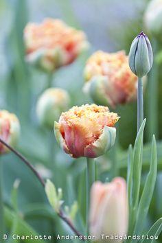 lovely tulips....
