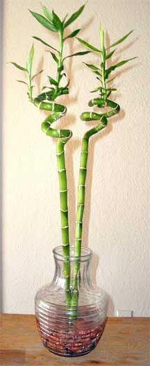 lucky bamboo plant....needs light but not direct sun...easy care....website has more care tips.